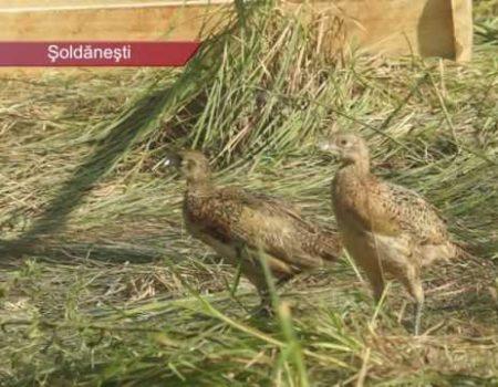 300 de fazani la Șoldănești, din Ungaria